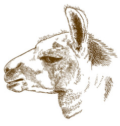 Engraving lama head vector