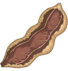 Ripe tamarind in cross section vector