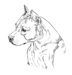 american staffordshire terrier-2 hand drawing vector image