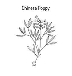 Chinese-poppy corydalis yanhusuo medicinal plant vector