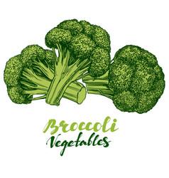 broccoli vegetable set detailed engraved vintage vector image
