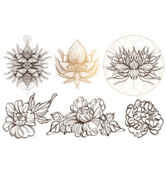 Botanical graphics peonies a set with buds vector