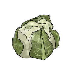 Drawing cauliflower vegetable nutrition food vector