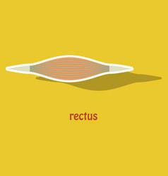 Sticker rectus - didactic board of anatomy vector
