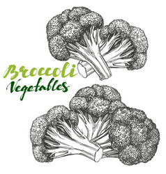 broccoli vegetable set detailed engraved vintage vector image vector image