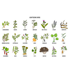 Adaptogen herbs hand drawn vector