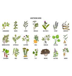 Adaptogen herbs hand drawn vector
