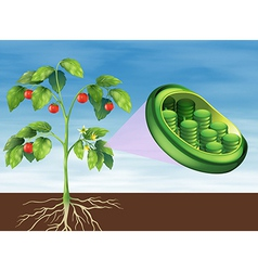Chloroplast in plant vector image