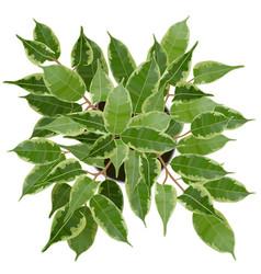 decorative ficus benjamina tree top view vector image
