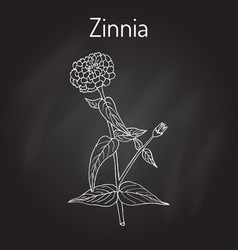 Zinnia elegant or youth-and-age flowering plant vector