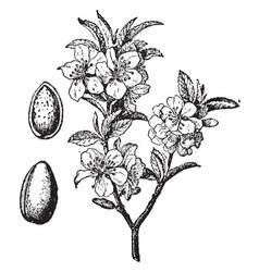 Almond tree and fruit vintage vector
