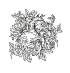 Hand drawn human heart with roses on white vector