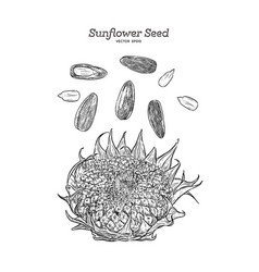 sunflower seed hand draw vector image