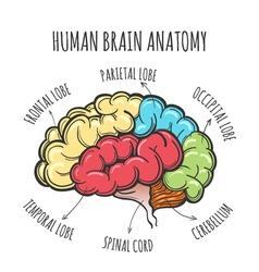 Human Brain Anatomy Sketch vector image