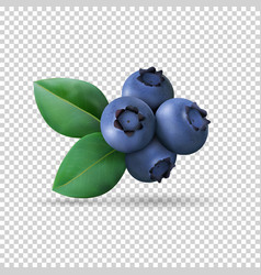 blueberry with leaves isolated on transparent vector image
