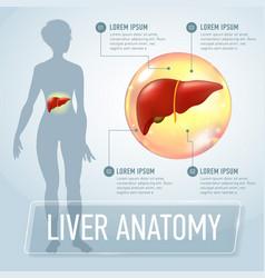 Liver infographics banner vector