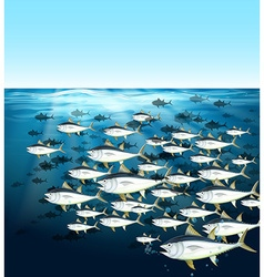 School of tuna swimming under the sea vector image