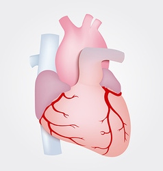 Human heart anatomy isolated on white background vector image