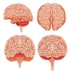 Human brain on white background vector
