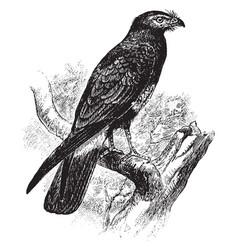 South american hawk vintage vector