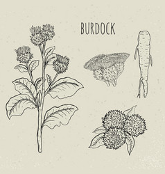 burdock medical botanical isolated plant vector image vector image