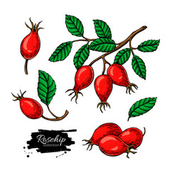 rosehip drawing set isolated berry branch vector image