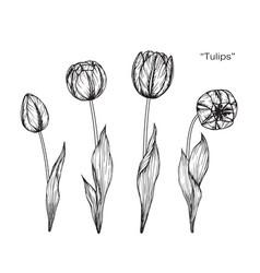 Tulip flower drawing vector