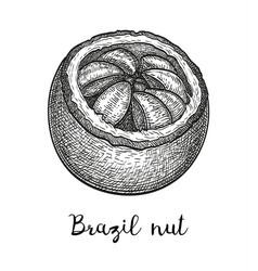 Ink sketch of brazil nut vector
