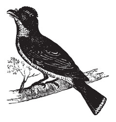 Flycatcher vintage vector