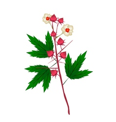 Fresh Hibiscus Sabdariffa Plant vector image