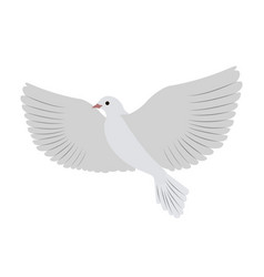 Gorgeous white dove flies and spreads large wings vector