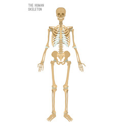 Human skeleton image vector