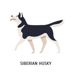 Siberian husky charming playful working or sled vector