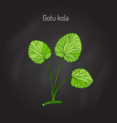 Gotu kola - medicinal plant vector