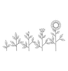Sunflower plant growth stages coloring vector