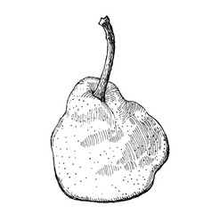 Engraving of a pear vector