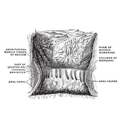 Interior of the anal cavity vintage vector