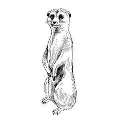 meerkat suricate vector image