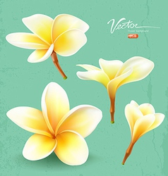 Frangipani thailand flower collections vector image