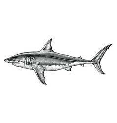 Great white shark hand drawing vintage engraving vector