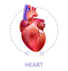 Heart isolated icon cardiovescular system internal vector
