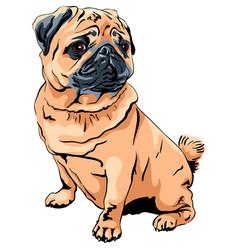 cute dog pug breed vector image