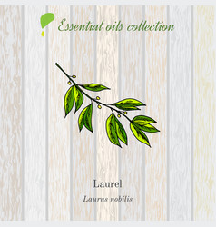 Laurel essential oil label aromatic plant vector