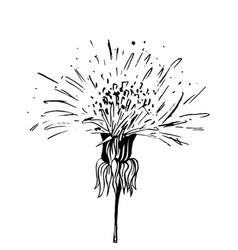 dandelion in blossom black ink sketch vector image