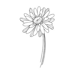 gerbera floral botanical flower black and vector image