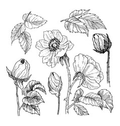wild roses blossom branch isolated on white vector image