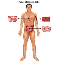Diagram showing types of muscle cells vector image vector image
