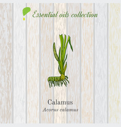 Calamus essential oil label aromatic plant vector