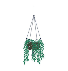 Houseplant growing in pot hanging plant lianas vector