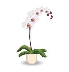 Orchid flowerpot on white background vector image